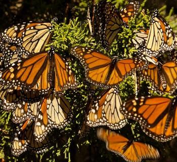 Comienza a llegar la Mariposa Monarca
