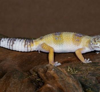 El geco, un reptil con muchas virtudes