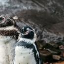 pingüinos chica