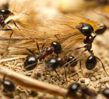 hormigas chica
