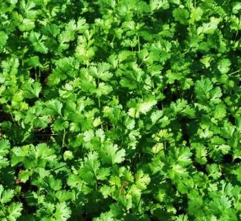 Cultiva cilantro en tu jardín