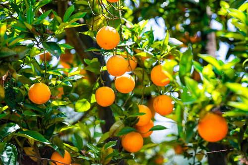 Rboles frutales que puedes cultivar en maceta for Cultivo de arboles frutales en macetas