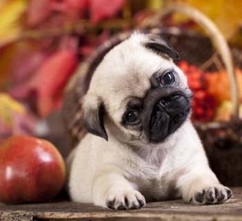 pugpuppy