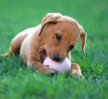 dientes_cachorro
