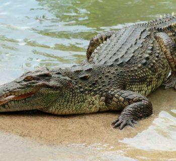 Un lugar en México donde puedes nadar con cocodrilos