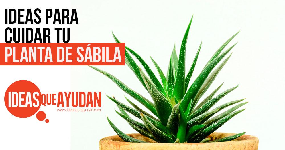 cuidar tu planta de sabila